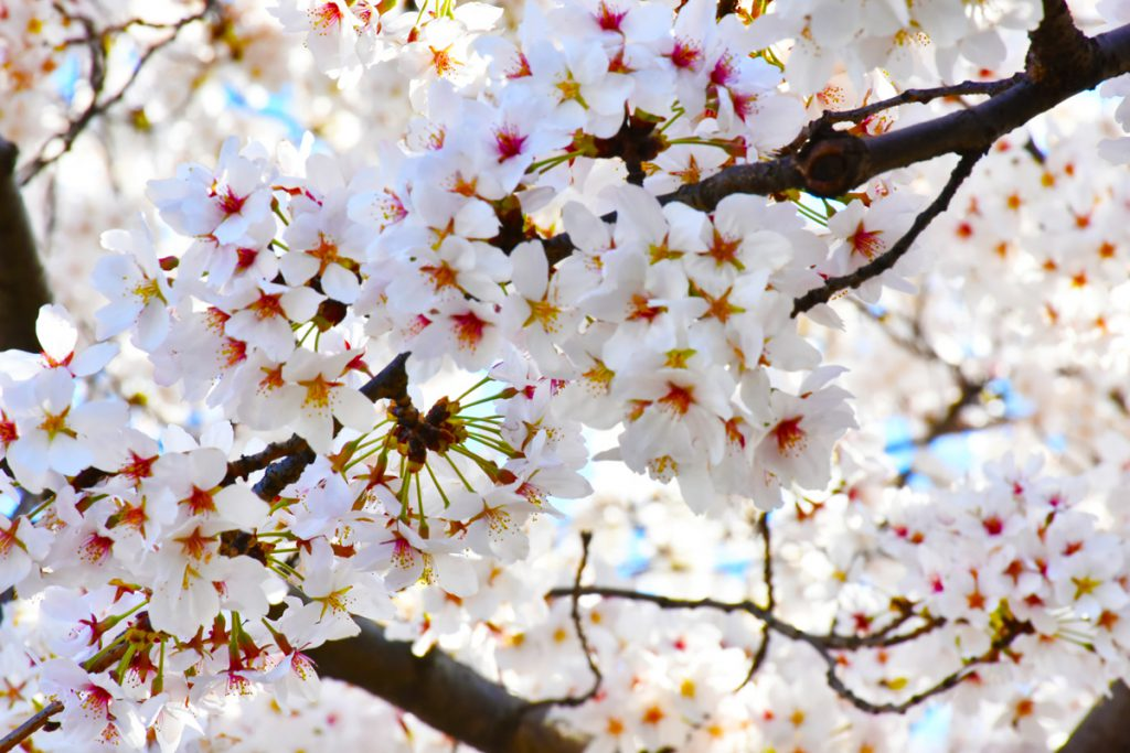 """""""Japanese Cherry Blossom,"""" captured by Ramona Davis in spring 2021 on her Nikon camera, features the cherry blossoms in full bloom in Washington, D.C."""